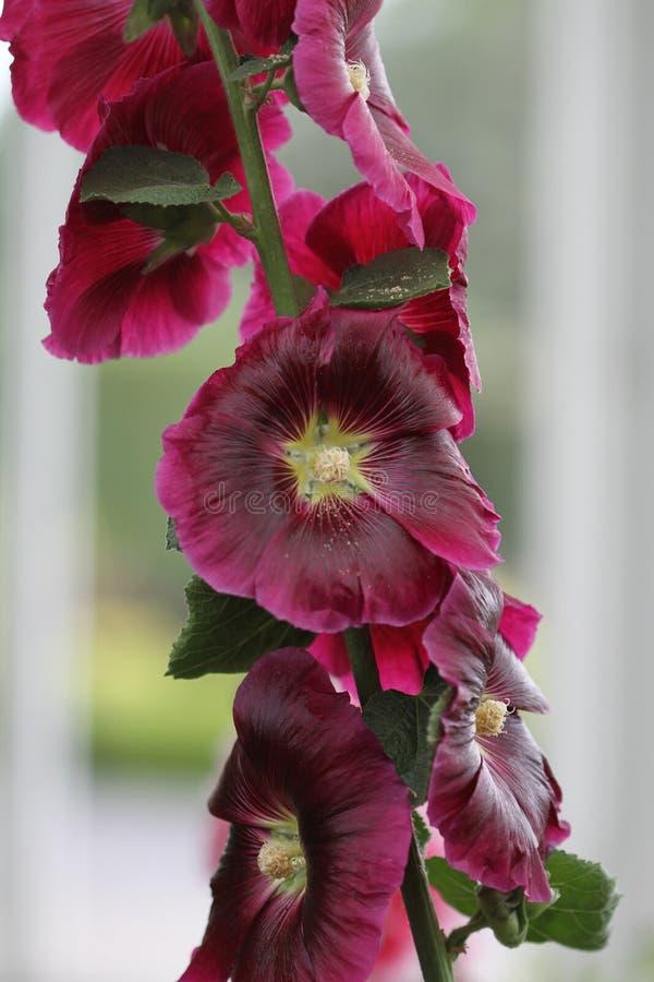 kwitnie winogradu fotografia stock