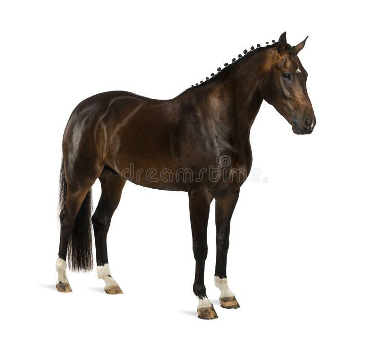 KWPN - Ολλανδικό Warmblood, 3 χρονών - caballus ferus Equus στοκ φωτογραφία με δικαίωμα ελεύθερης χρήσης