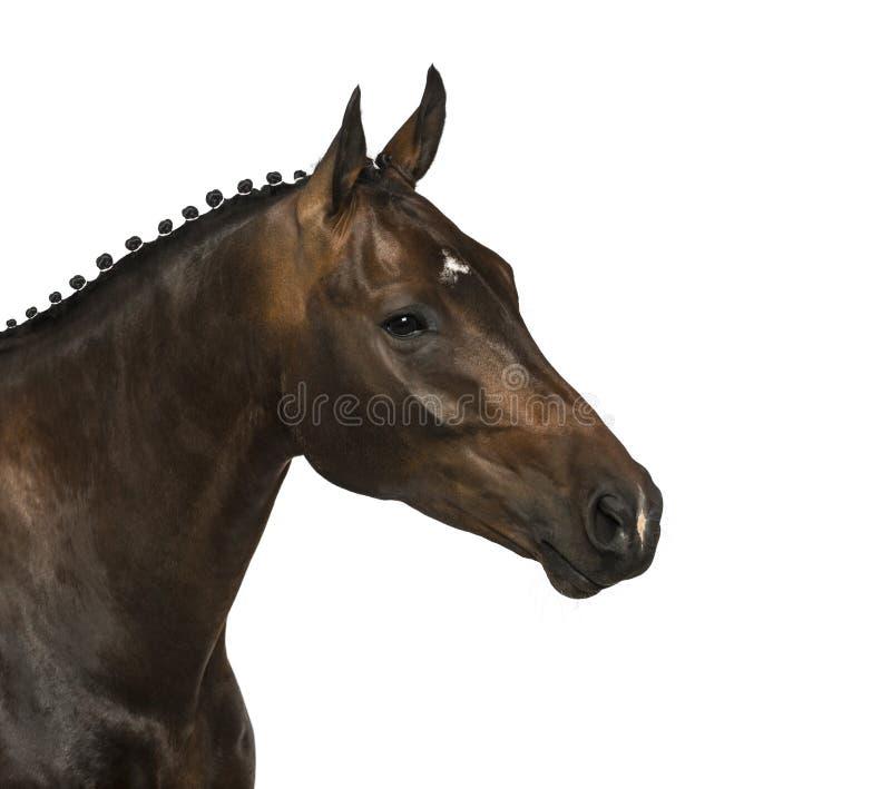 KWPN - Dutch Warmblood, 3 years old - Equus ferus caballus. Isolated on white royalty free stock photo