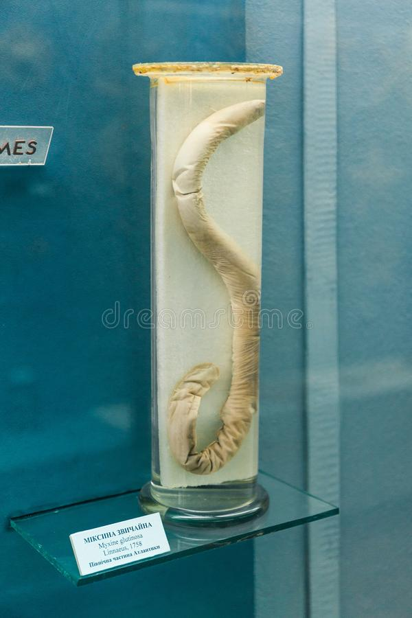 KYIV, UKRAINE - JUNE 16, 2018: National Museum of Natural Sciences of Ukraine. Myxine glutinosa - alcohol wet sample in a glass stock photography