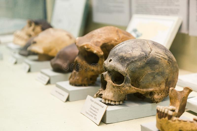 KYIV, UKRAINE - JUNE 16, 2018: National Museum of Natural Sciences of Ukraine. Human skull evolution, nature theory. Archeology. Skeleton, previous homo bones royalty free stock photos