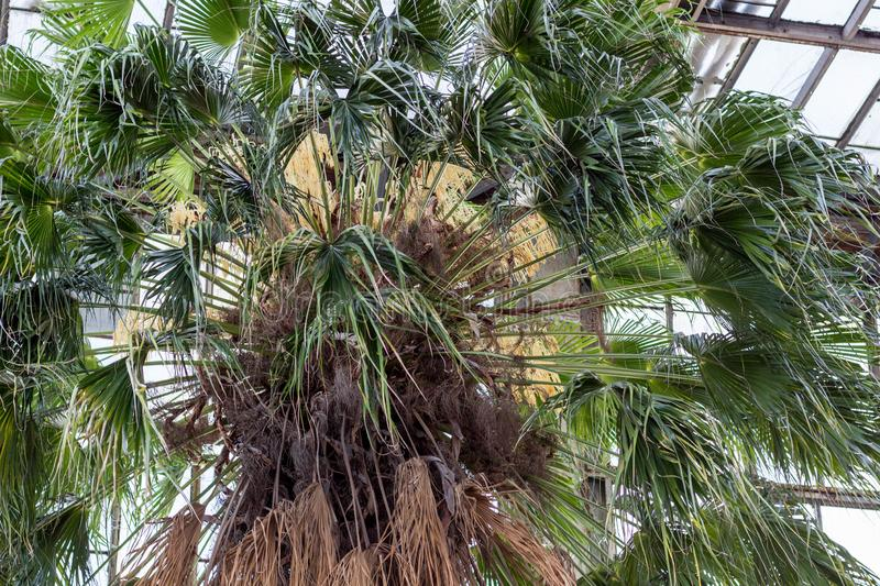 24.01.2019 Kyiv, Ukraine. A.V. Fomin Botanical Garden. Blooming of the oldest palm tree in the collection - Livistona. Palm trees. For the first time the palm royalty free stock photos