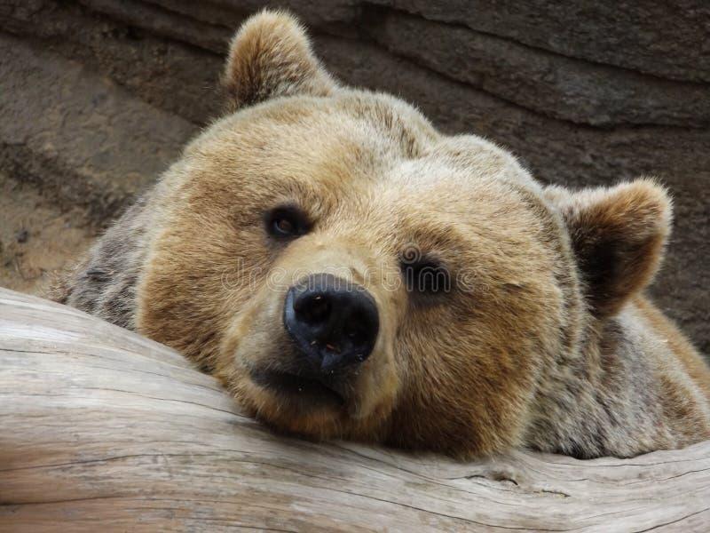 Kyla björnen royaltyfri foto