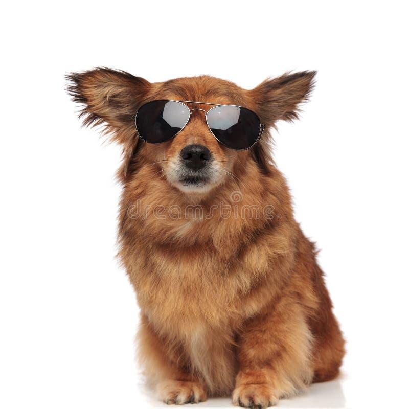 Kyla den bruna päls- hunden med att sitta för solglasögon fotografering för bildbyråer