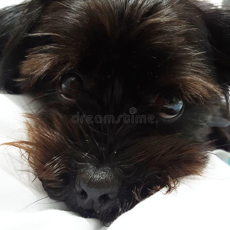 Kyla för ögon för hundvalphund fotografering för bildbyråer