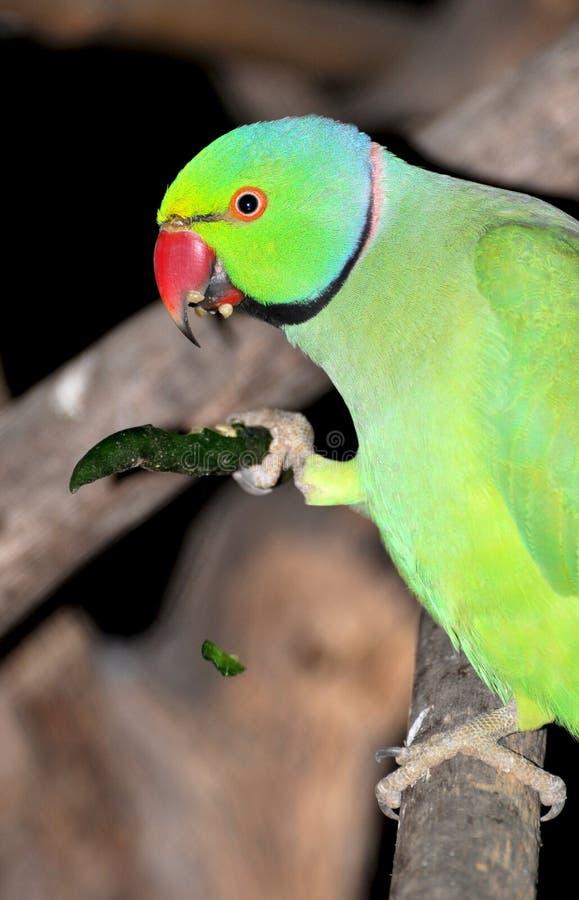kyligt grön papegoja för äta arkivfoton