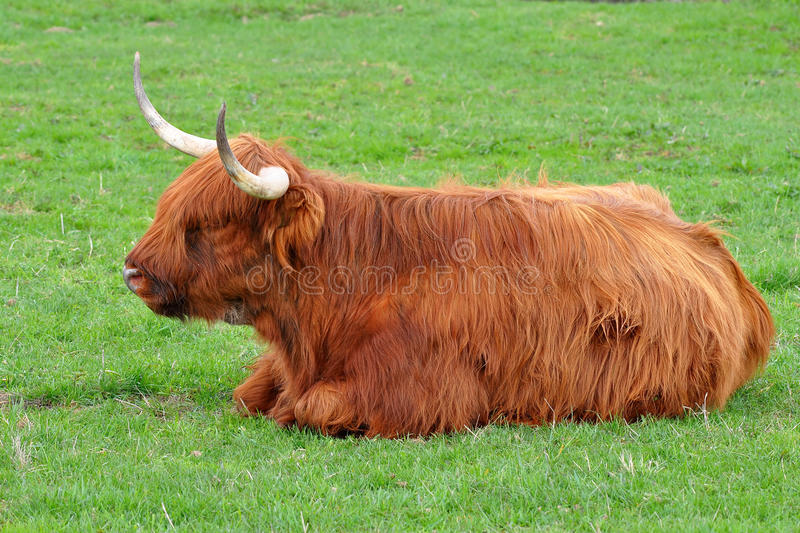 Kyloe cattle young one. Highland cattle or kyloe are a Scottish breed of beef cattle with long horns and long wavy coats stock photography