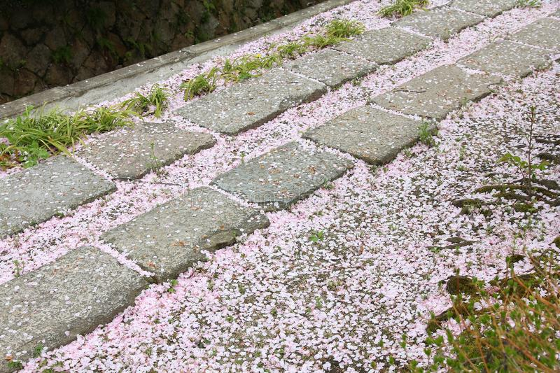 Kyoto cherry blossoms. Fallen cherry blossoms on Philosopher's Path in Kyoto, Japan stock photo
