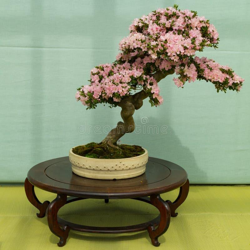 Kyoto, Japão - 21 de maio de 2017: Árvore de florescência cor-de-rosa dos bonsais da azálea mim fotos de stock royalty free