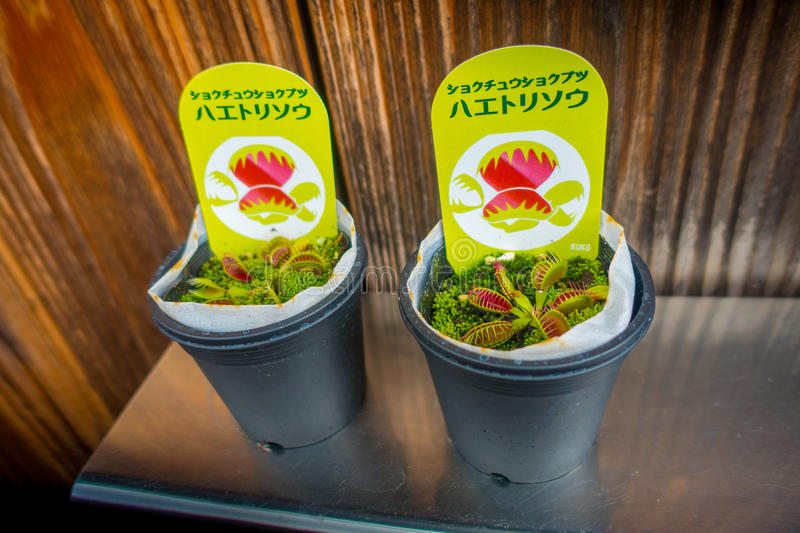 KYOTO, JAPAN - JULY 05, 2017: Carnivorous plant in a pot in a market at Gion district in Kyoto. Japan royalty free stock images