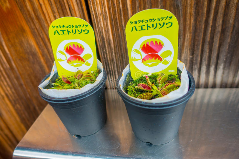 KYOTO, JAPAN - JULY 05, 2017: Carnivorous plant in a pot in a market at Gion district in Kyoto. Japan royalty free stock photos