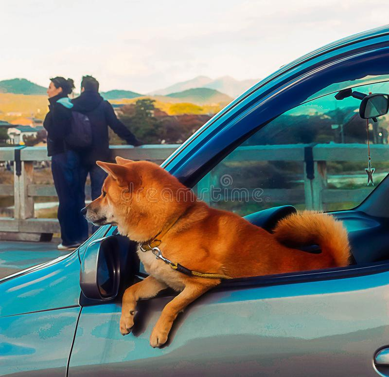 Kyoto, Japan - 2010: shiba inu Hund, der aus Auto heraus schaut stockbilder
