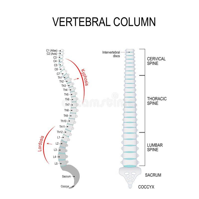 kyphosis  u0026 lordosis  vertebral column stock vector