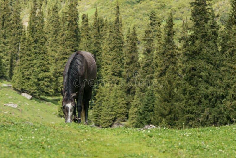 Kyrgyz koń w wysokogórskim krajobrazie blisko Alakol jeziora, Altyn Arashan, popularny wycieczkuje miejsce przeznaczenia blisko K zdjęcie royalty free