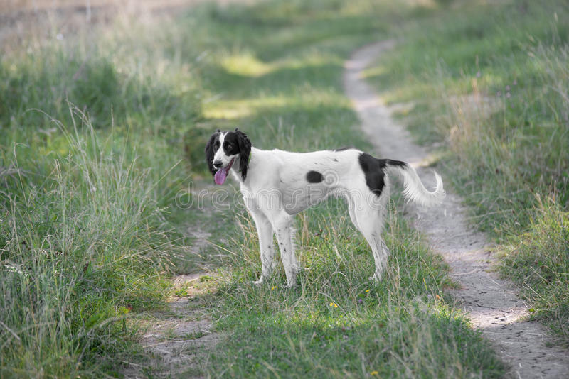 Kyrgyzian-Anblickjagdhund Taigan-Hund, der auf dem grünen Gras sitzt lizenzfreies stockbild