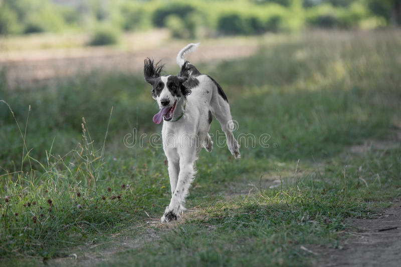 Kyrgyzian Sight hound Taigan dog running on the grass. Kyrgyzian Sight hound is a member of the family of Eastern Sighthounds. The Taigan is a very rare dog royalty free stock images