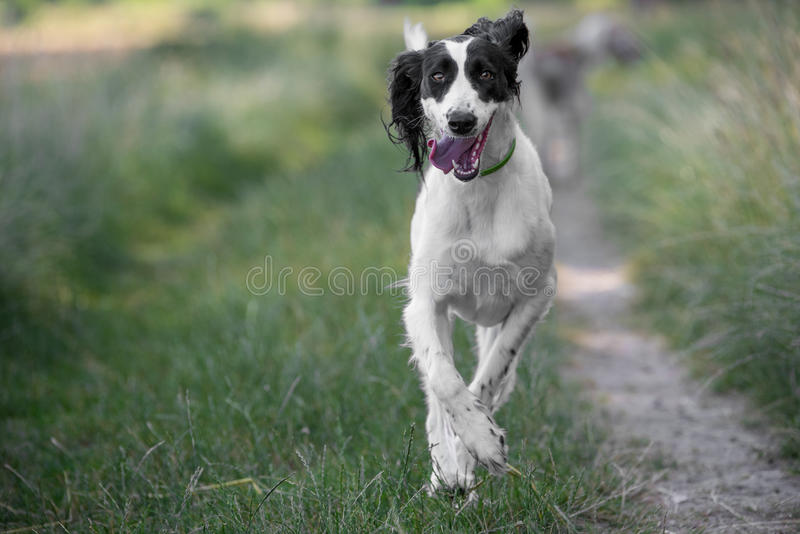 Kyrgyzian Sight hound Taigan dog running on the grass. Kyrgyzian Sight hound is a member of the family of Eastern Sighthounds. The Taigan is a very rare dog royalty free stock photos