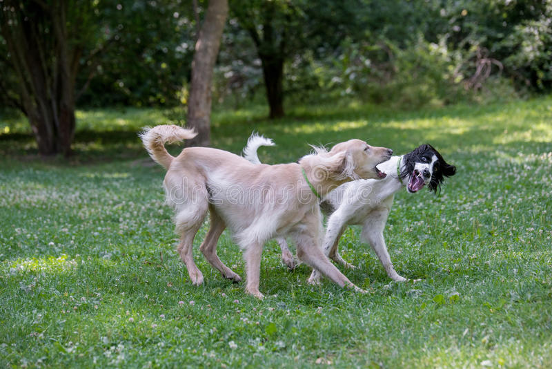 Kyrgyzian Sight hound Taigan dog running on the grass. Kyrgyzian Sight hound is a member of the family of Eastern Sighthounds. The Taigan is a very rare dog royalty free stock image
