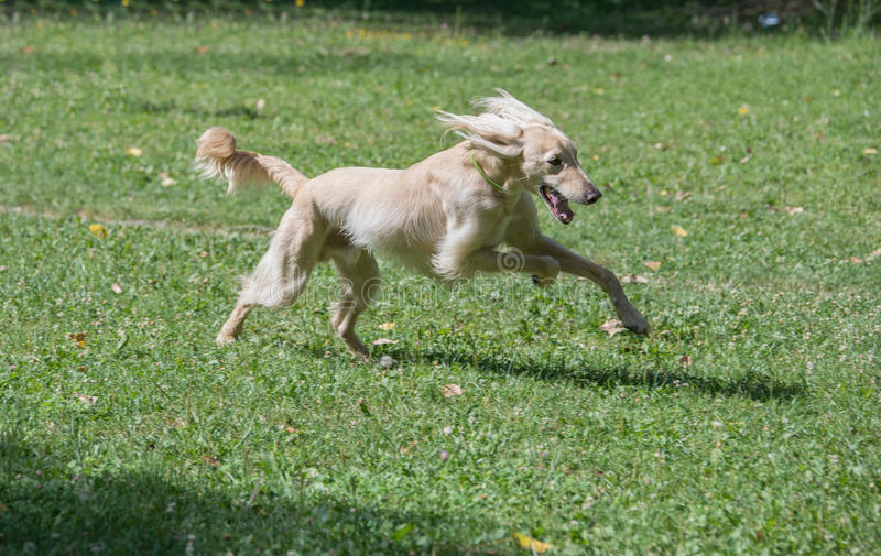 Kyrgyzian Sight hound Taigan dog running on the grass. Kyrgyzian Sight hound is a member of the family of Eastern Sighthounds. The Taigan is a very rare dog stock images