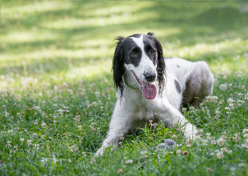 Kyrgyzian Sight hound Taigan dog sitting on the green grass. Kyrgyzian Sight hound is a member of the family of Eastern Sighthounds. The Taigan is a very rare stock photos