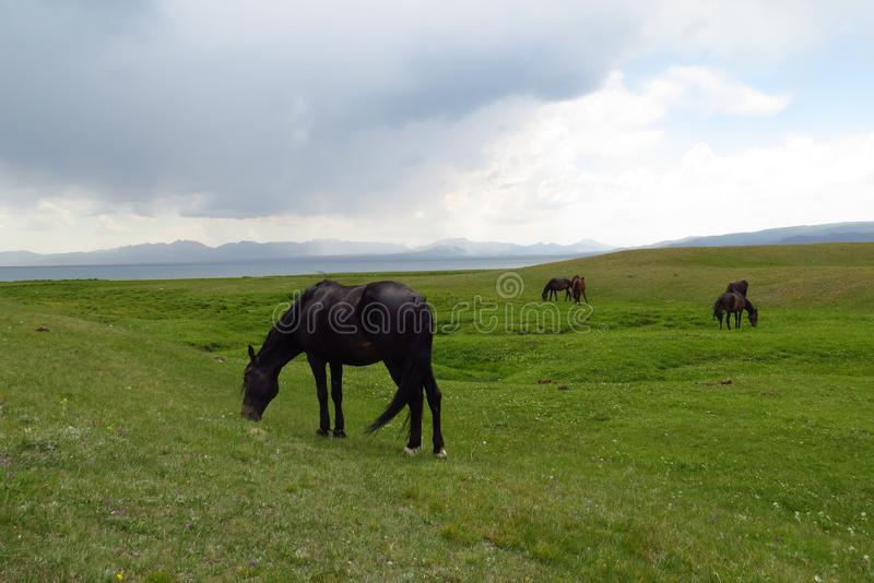 Kyrgyzs horses grazing in a pasture in the early spring. royalty free stock photo