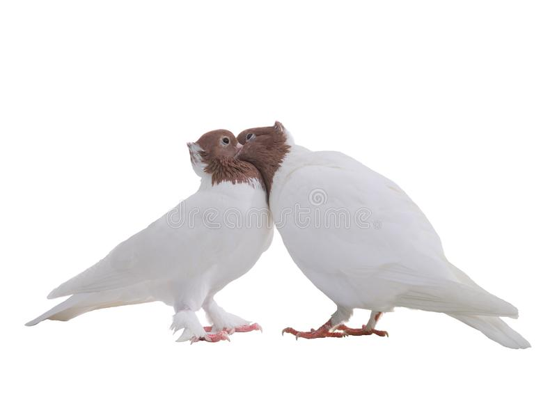 Kyss av två isolerade vita duvor royaltyfri foto