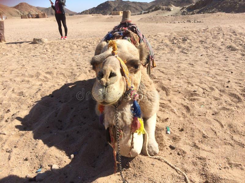 Kyss för kamel` s arkivfoto