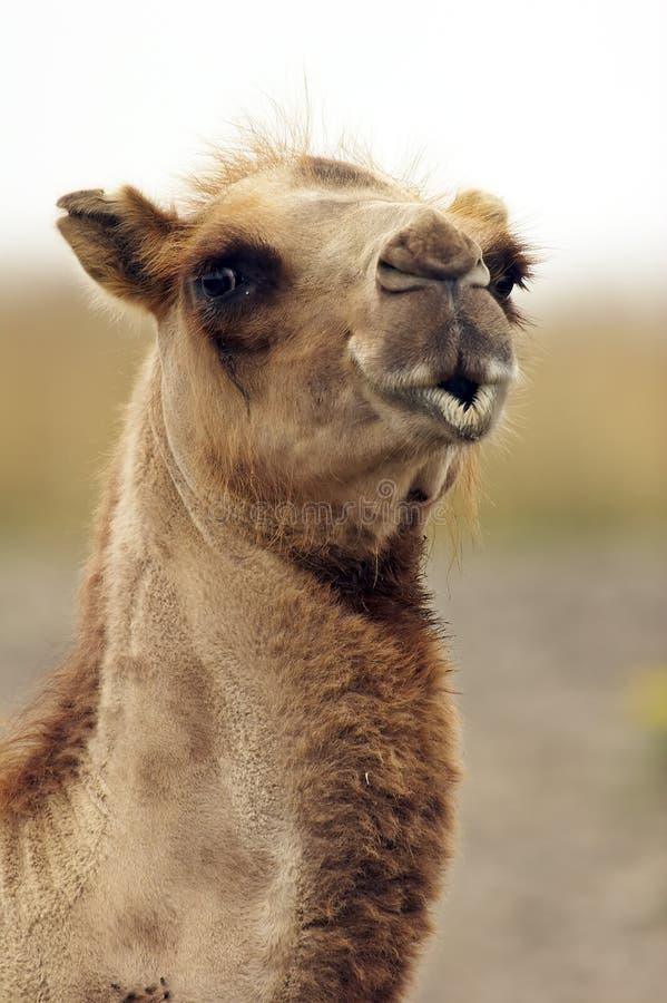 kyssa för kamelcloseup royaltyfri foto
