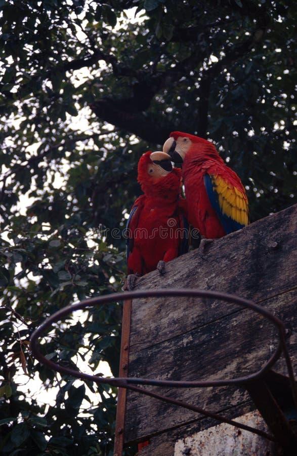 Kyssa för papegojor royaltyfria foton