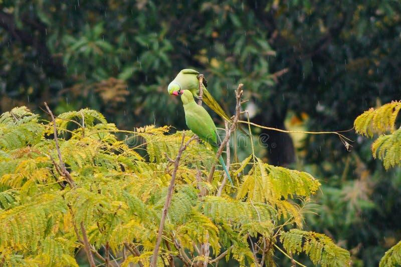 Kyssa på trädet i regnet arkivfoton