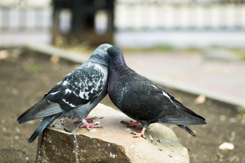 Kyssande duvor för par arkivfoto