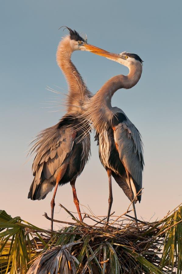 Kyssande herons royaltyfria bilder