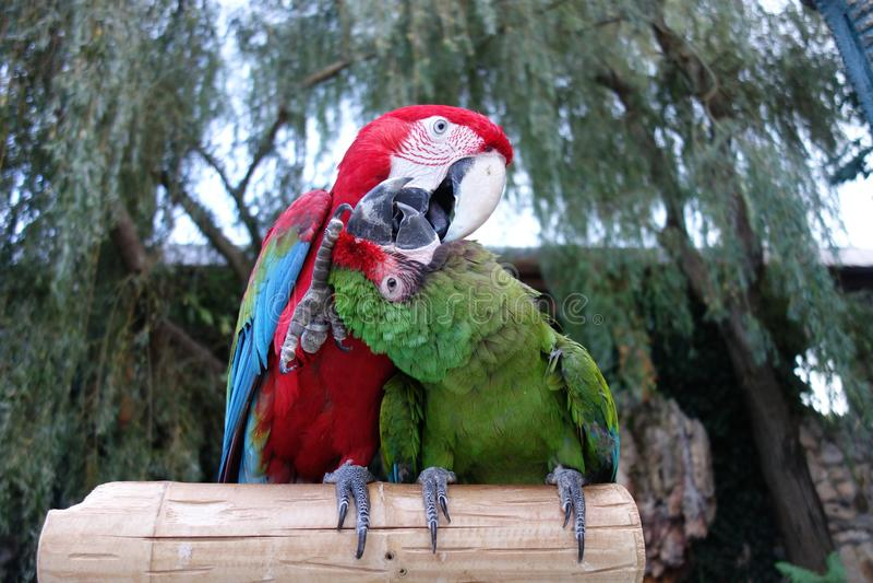 Kyssande papegojor royaltyfri foto
