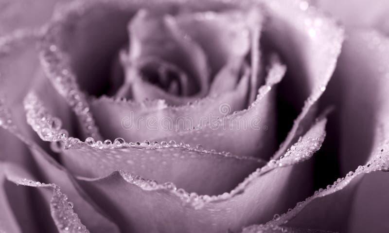 kysst dagg steg arkivfoto