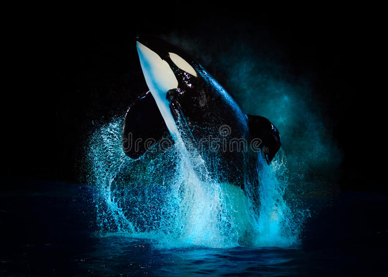 Download Kyuquot - Killer Whale At SeaWorld Texas With Black Backdrop Editorial Image - Image of takara, tourism: 70983725