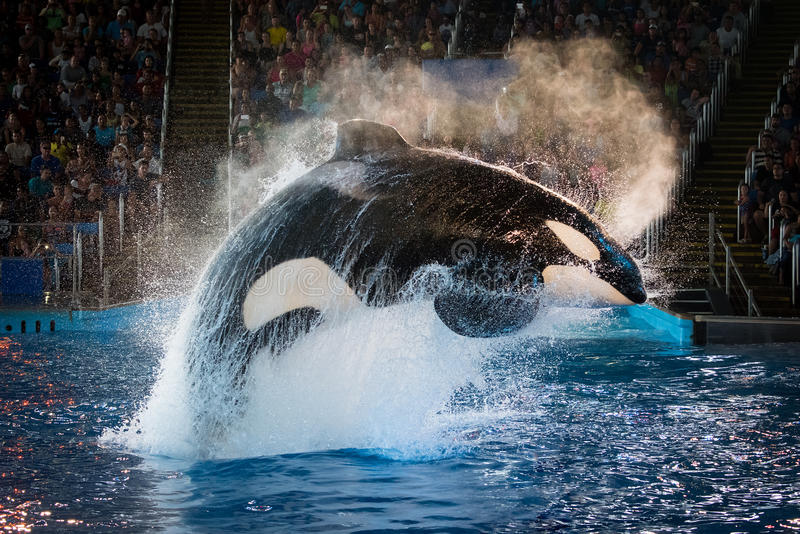 Download Kyuquot - Orca At SeaWorld San Antonio Editorial Stock Photo - Image of orca, christmas: 68778678