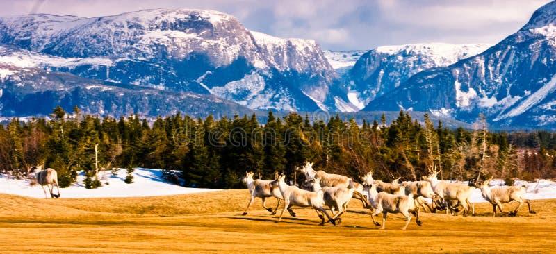 Là où la course de caribou photos libres de droits