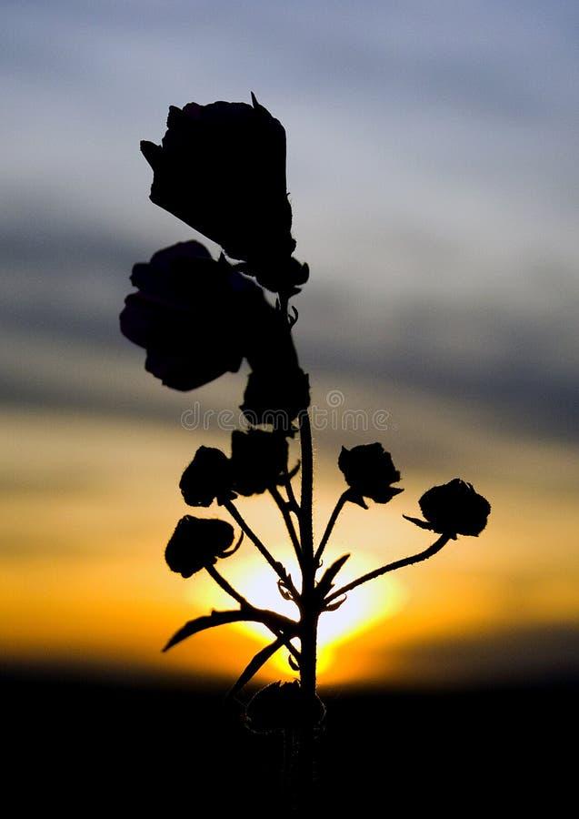 Là où les roses sauvages vont photographie stock libre de droits