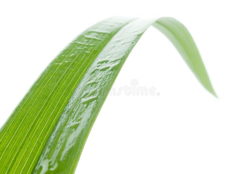 Lámina de la hierba mojada. fotografía de archivo