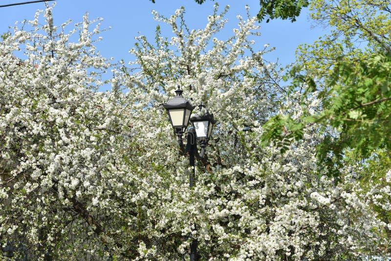 Lámpara de calle de la ciudad en el fondo del florecimiento de la primavera de los árboles frutales imagen de archivo