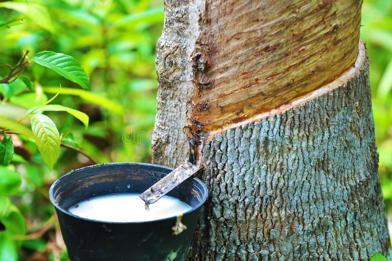 Látex de borracha da árvore da borracha imagem de stock royalty free