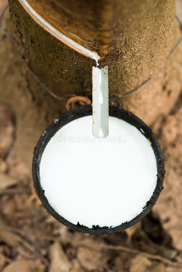 Látex de borracha das árvores da borracha foto de stock royalty free