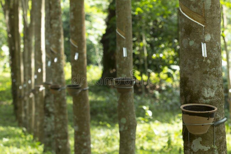 Látex extraído de la Hevea Brasiliensis del árbol de goma como fuente del caucho natural, caucho natural del árbol en taza fotos de archivo