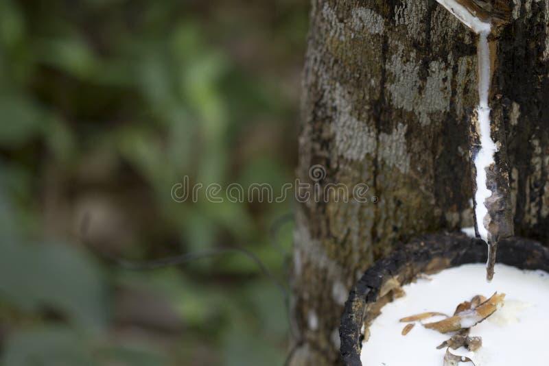 Látex extraído de la Hevea Brasiliensis del árbol de goma como fuente del caucho natural, caucho natural del árbol en taza imágenes de archivo libres de regalías