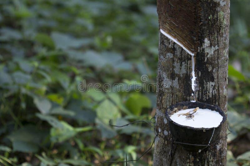 Látex extraído de la Hevea Brasiliensis del árbol de goma como fuente del caucho natural, caucho natural del árbol en taza fotos de archivo libres de regalías