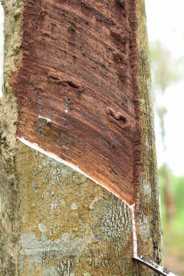 Látex lechoso extraído del árbol de goma, fuente de árbol de goma natural en la ubicación de Tailandia imagenes de archivo