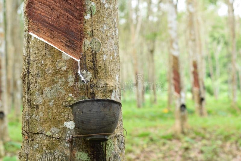 Látex lechoso extraído del árbol de goma, fuente de árbol de goma natural en la ubicación de Tailandia imágenes de archivo libres de regalías