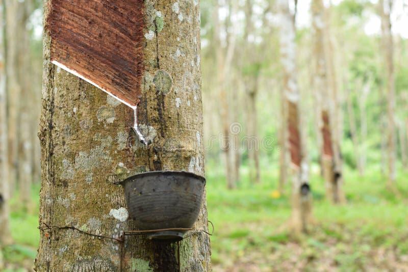Látex lechoso extraído del árbol de goma, fuente de árbol de goma natural en la ubicación de Tailandia fotografía de archivo libre de regalías