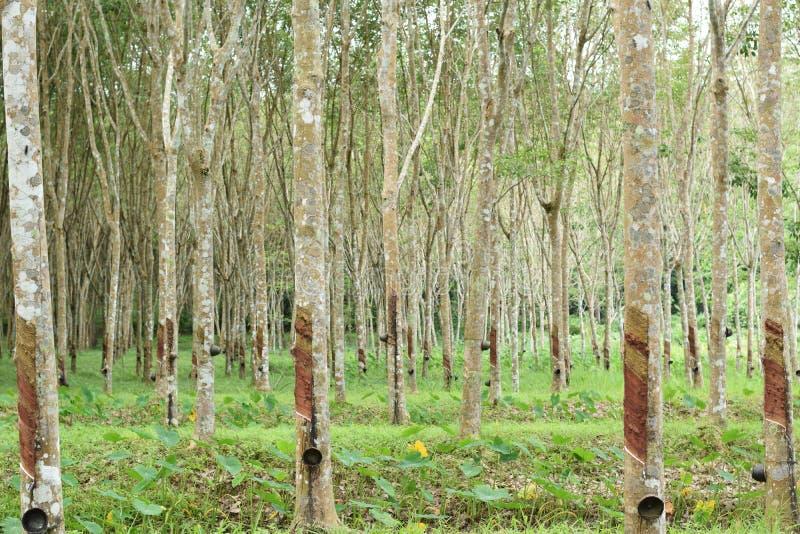 Látex lechoso extraído del árbol de goma, fuente de árbol de goma natural en la ubicación de Tailandia imagen de archivo libre de regalías