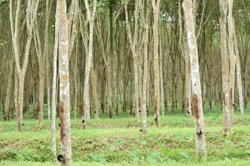 Látex lechoso extraído del árbol de goma, fuente de árbol de goma natural en la ubicación de Tailandia fotos de archivo libres de regalías